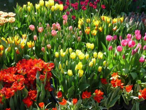 Tulpen1